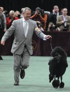 Handler Timothy Brazier and his standard poodle, Affirmation, run in the ring during the non-sporting group competition, which she won, during the 133rd annual Westminster Kennel Club dog show in New York on Monday, Feb. 9, 2009.