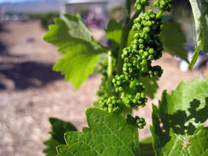 Typically, wine grapes are thought not to grow well in such a harsh climate, but these plants have taken well to the desert at the UNCE orchard in North Las Vegas.