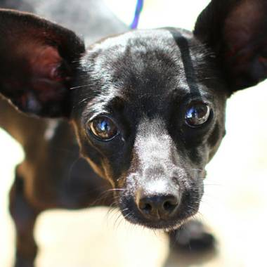 Beta, a 2-year old chihuahua that needs to be adopted. We know those puppy dog eyes are melting your heart right about now.