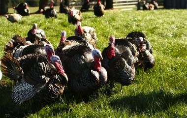BN Ranch-raised heritage and white turkeys are raised on a vegetarian diet and never consume antibiotics or growth promoters.