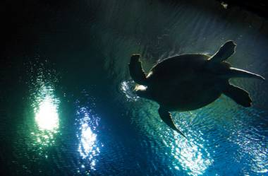 The long, dramatic story of OD the green sea turtle: How Mandalay Bay's recent addition made his way from the Atlantic Ocean to the hotel's Shark Reef Aquarium.